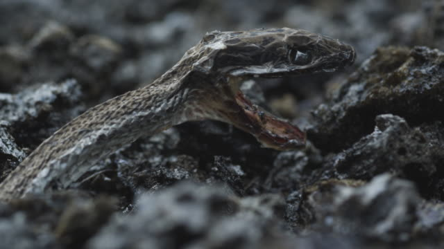 burned snake with mouth open amongst volcanic ash, nyamuragira, democratic republic of congo, 2011 - ash stock videos & royalty-free footage