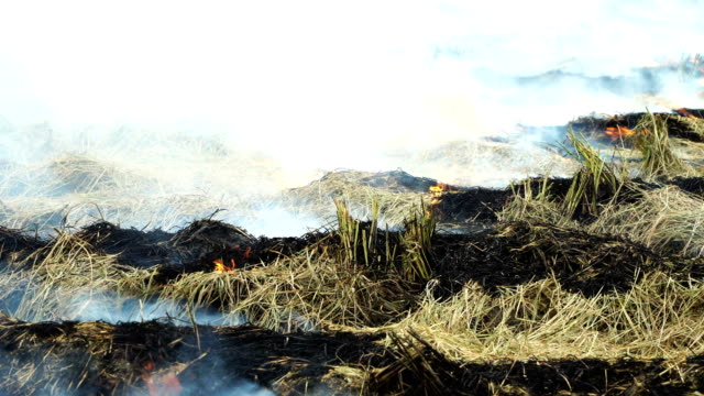 burning dry straw in rice paddy - stubble stock videos & royalty-free footage