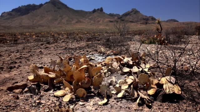 vidéos et rushes de burnt desert cactus and landscape after fire - cactus