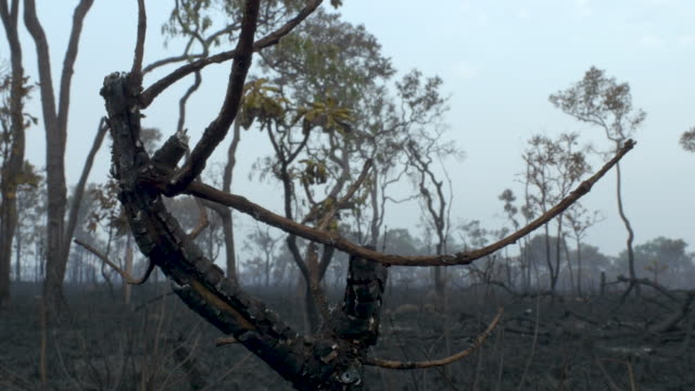 burnt down amazon tropical rain forest - tronco d'albero video stock e b–roll