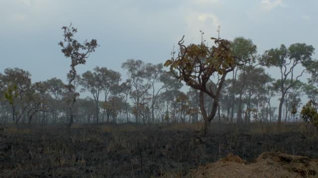 vidéos et rushes de burnt down amazon tropical rain forest - sec