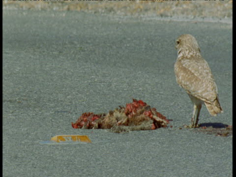 burrowing owl arrives and feeds from road kill, san jose - aas fressen stock-videos und b-roll-filmmaterial