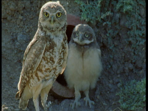 burrowing owl chicks join adult outside storm pipe nesthole, san jose - 出現点の映像素材/bロール