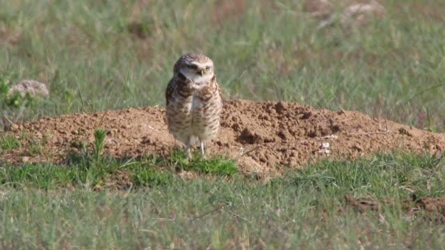 stockvideo's en b-roll-footage met burrowing owl eats grass burrow mound denver colorado hd video - dierenhol