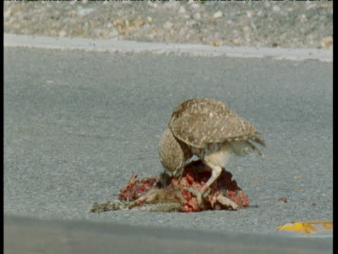burrowing owl feeds from road kill, san jose - run over stock videos & royalty-free footage