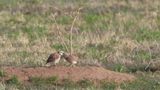 burrowing owl pair groom each other denver colorado hd video - putsa sig bildbanksvideor och videomaterial från bakom kulisserna