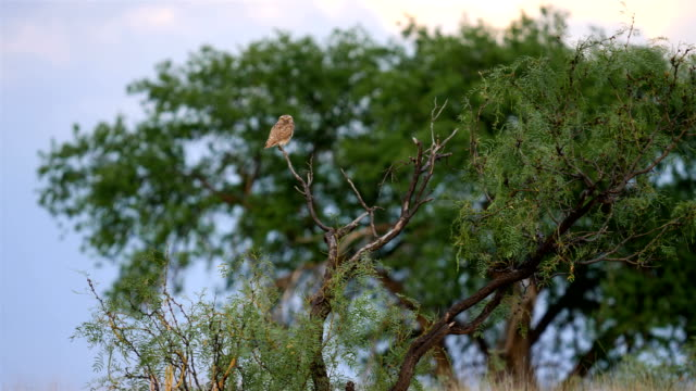 Burrowing owl perched on a tree