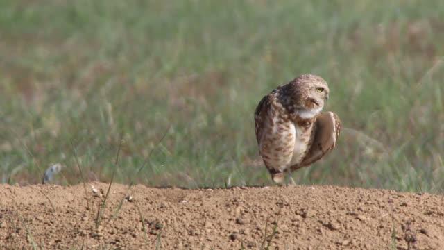 burrowing owl preens at burrow mound denver colorado hd video - preening animal behavior stock videos & royalty-free footage