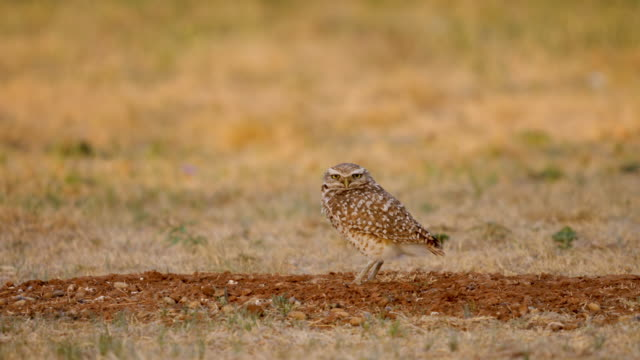burrowing owl setting on its nest - great plains stock videos & royalty-free footage