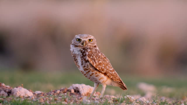 burrowing owl setting on its nest - alertness stock videos & royalty-free footage