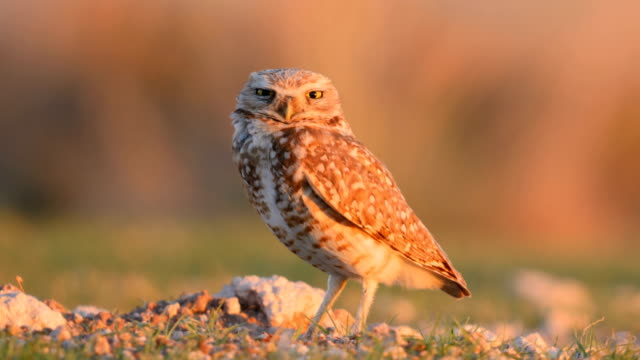 Burrowing owl setting on its nest