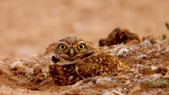burrowing owl setting on its nest - hunting sport stock videos & royalty-free footage