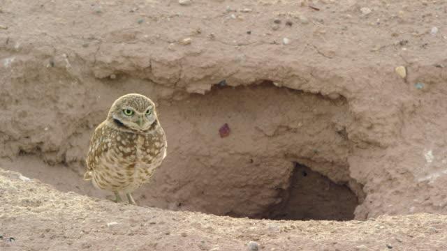 eine grabende eule steht neben ihrem schmutzgraben und schaut sich um - loch stock-videos und b-roll-filmmaterial