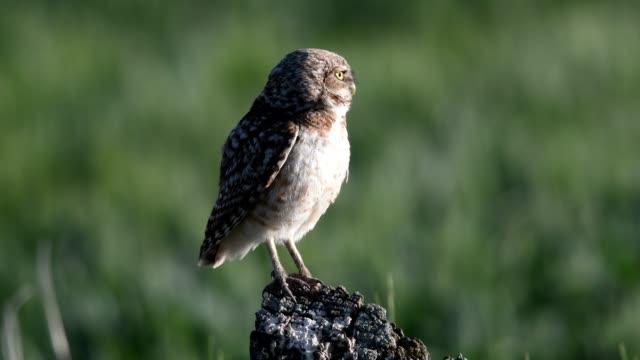 burrowing owl - bird of prey stock videos & royalty-free footage
