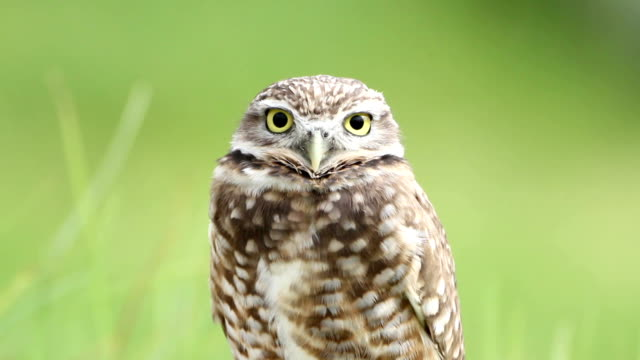burrowing owl - owl stock videos & royalty-free footage