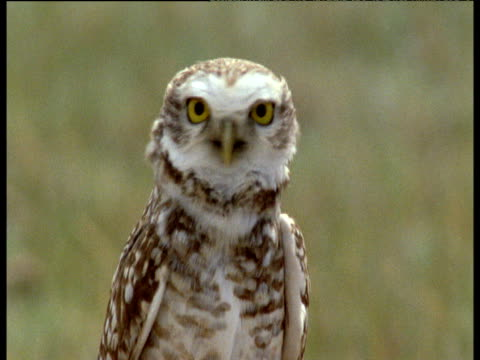 burrowing owls attempt to evict maras in order to steal their burrow - digging stock videos and b-roll footage
