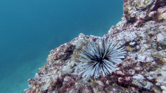 burrowing sea urchin (echinometra mathaei) on underwater coral reef with copy space - ricci di mare video stock e b–roll