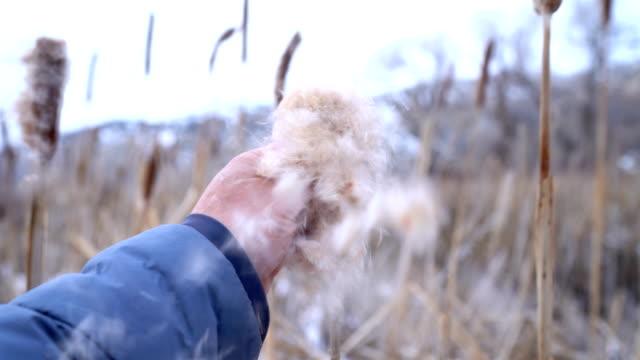 bursting cattail seed pod - bulrush stock videos & royalty-free footage