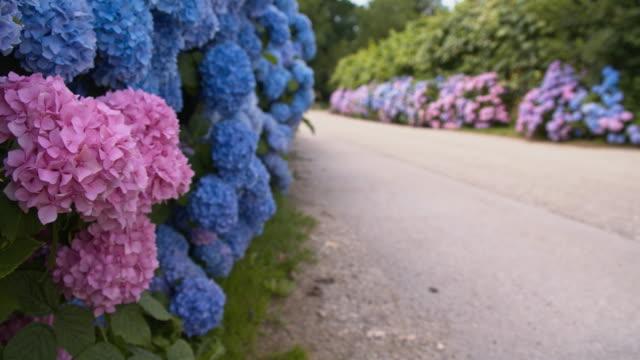 vídeos y material grabado en eventos de stock de r/f bush de hydrangeas flores - hortensia
