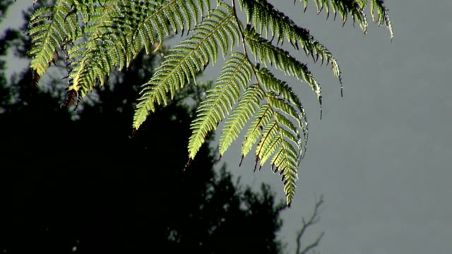 bush #2 - tree fern stock videos & royalty-free footage