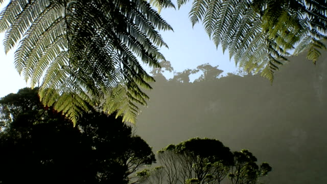 bush #1 - dicksonia antarctica stock videos & royalty-free footage