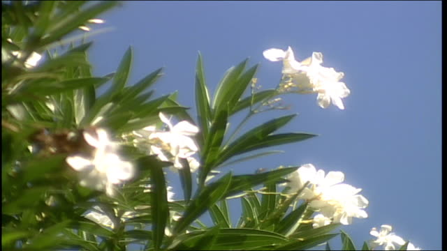 cu bush with white flowers in phoenix arizona - natural land state stock videos & royalty-free footage