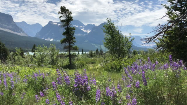 bushes and flowers at us glacier national park - glacier national park us stock videos and b-roll footage