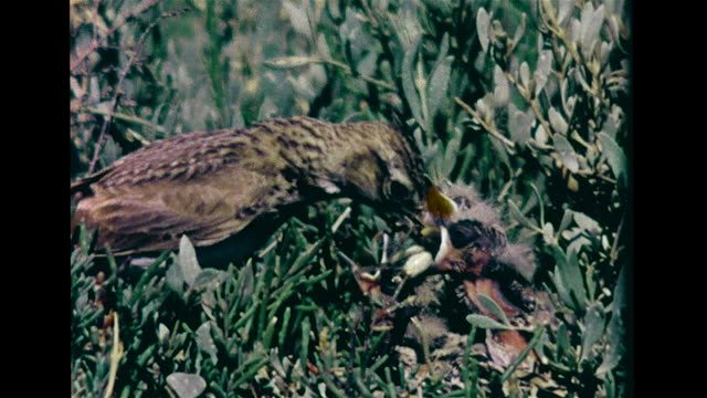 vídeos de stock, filmes e b-roll de bushland vs flowers in bloom vs crested lark feeding chicks in nest pratincole bird standing on grass stone curlew on nest leaving vs sheep grazing... - pilrito