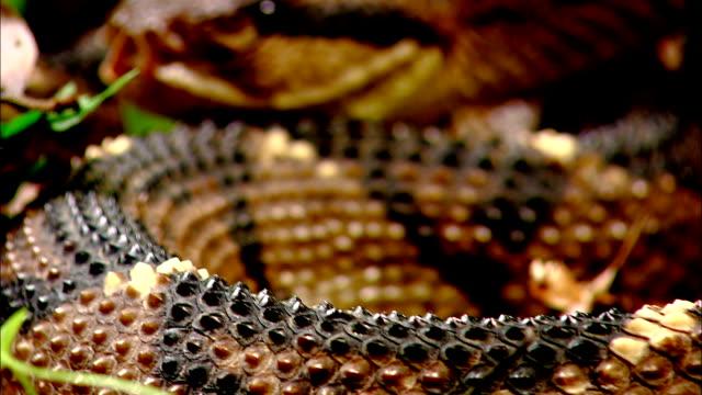 a bushmaster snake coils slowly. - bushmaster snake stock videos & royalty-free footage