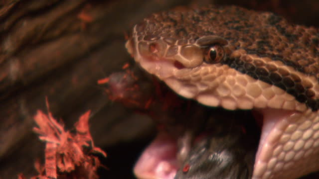 a bushmaster snake eats a mouse. - bushmaster snake stock videos & royalty-free footage