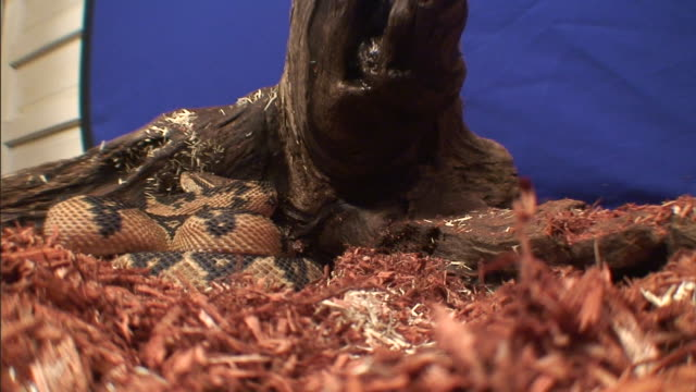 a bushmaster snake lies coiled against a log. - bushmaster snake stock videos & royalty-free footage
