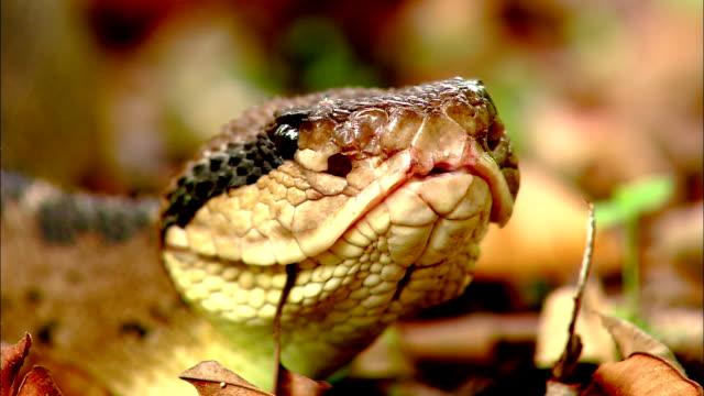 a bushmaster snake lies in leaf litter. - bushmaster snake stock videos & royalty-free footage