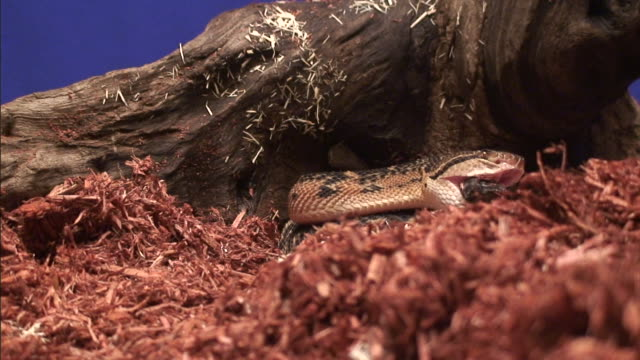 a bushmaster snake lies on shredded wood. - south america stock videos & royalty-free footage