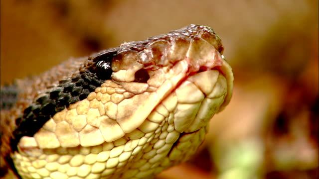 a bushmaster snake raises its head. - bushmaster snake stock videos & royalty-free footage