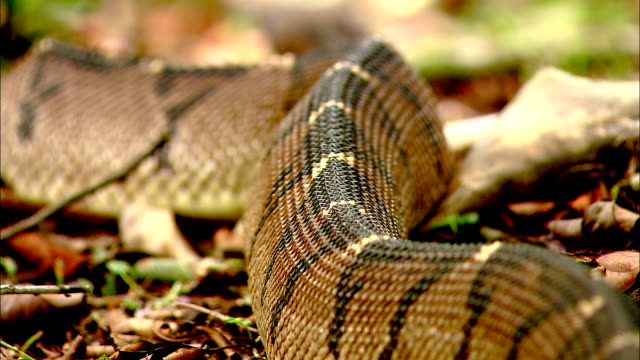 a bushmaster snake slithers along the forest floor. - bushmaster snake stock videos & royalty-free footage
