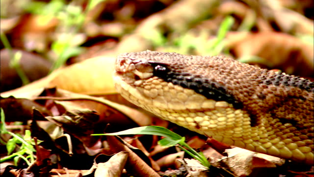 a bushmaster snake slithers its head along the forest floor. - bushmaster snake stock videos & royalty-free footage