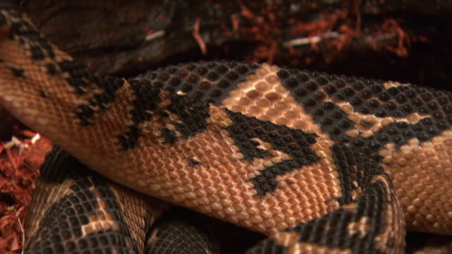 a bushmaster snake slowly consumes a mouse. - bushmaster snake stock videos & royalty-free footage