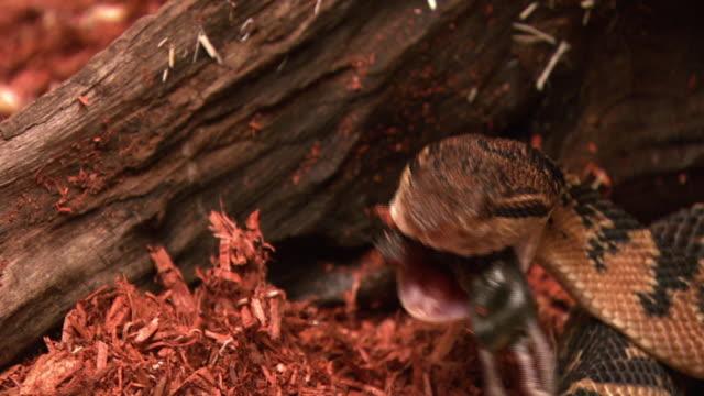 a bushmaster snake slowly eats a mouse. - bushmaster snake stock videos & royalty-free footage
