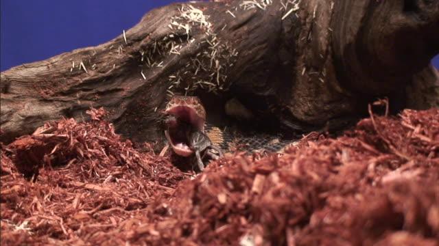 a bushmaster snake swallows a mouse. - bushmaster snake stock videos & royalty-free footage