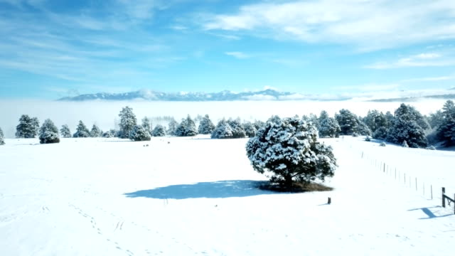 bushy pine tree covered in snow after big winter storm - snowing stock videos & royalty-free footage