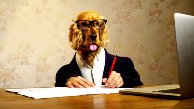 business dog working - spaniel stock videos and b-roll footage