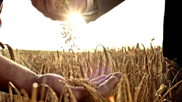 slo mo businessman pouring wheat grains into farmer's hand - cereal plant stock videos & royalty-free footage