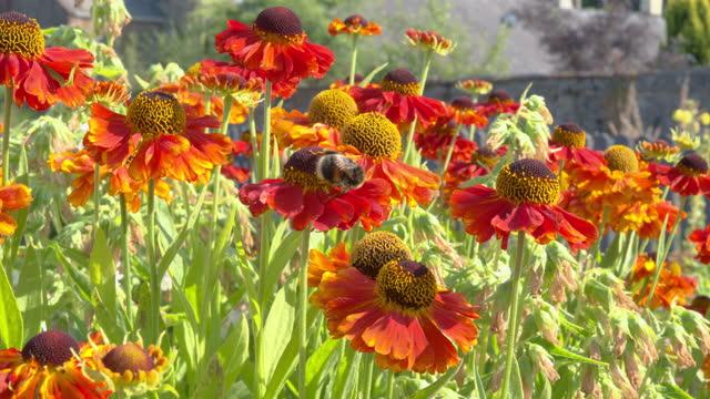 busy bumblebee on an orange garden flower - johnfscott stock videos & royalty-free footage