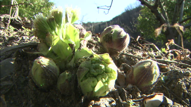 butterbur sprout from fertile ground. - brussels sprout stock videos & royalty-free footage