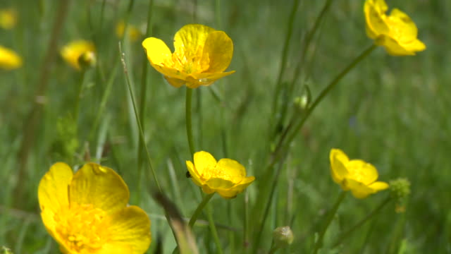 Buttercup background