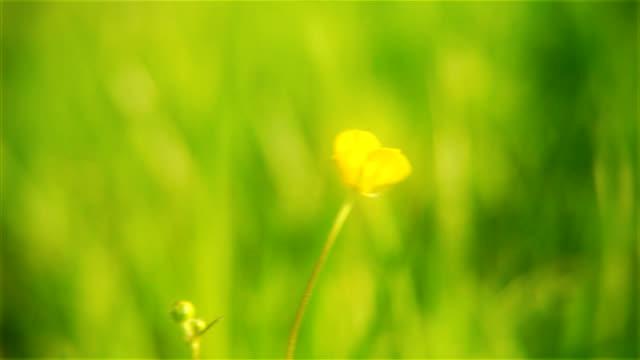 Buttercup closeup