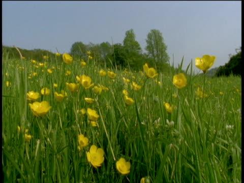 Buttercup field, Devon