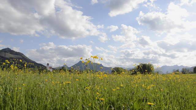 vídeos de stock e filmes b-roll de buttercup meadow at chiemgauer alps - ranunculus asiaticus
