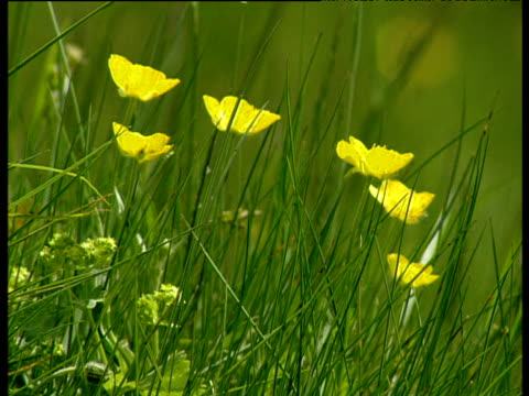 Buttercups and grass wave in a light breeze.