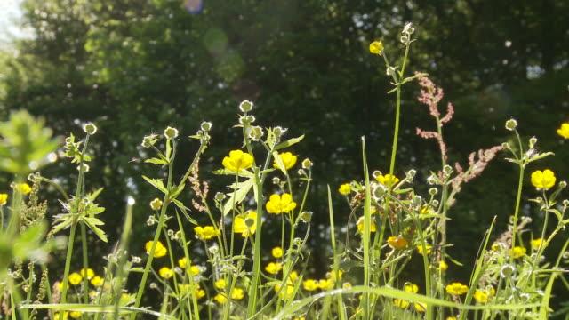 buttercups and pollen